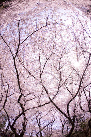 Rows of cherry blossom trees in full blossomの写真素材