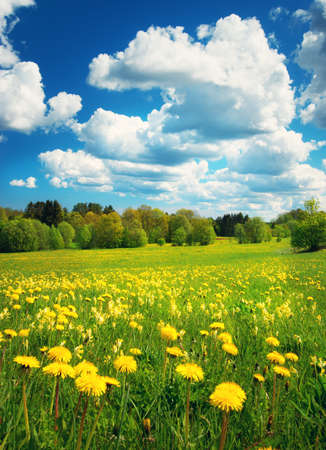 Photo for Field with yellow dandelions and blue sky - Royalty Free Image