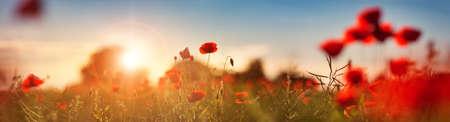 Photo pour Beautiful poppy flowers on the field - image libre de droit
