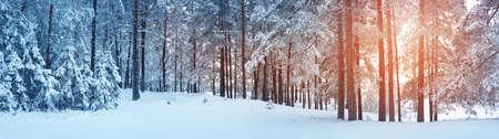 Foto de Pine trees covered with snow - Imagen libre de derechos