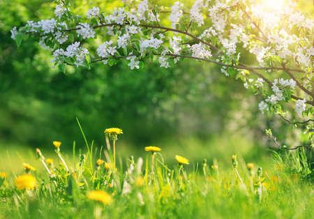 Photo pour Field with dandelions. Closeup of yellow spring flowers - image libre de droit
