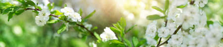Photo for blurred plum tree background in bloom. Twig of spring flowers on beautiful sunny day. Fresh foliage in springtime in may - Royalty Free Image