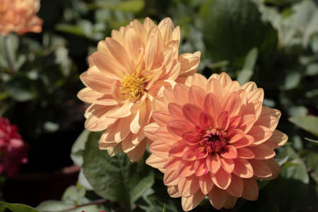 Photo for Close-up of garden Dahlia flower. Colors and green leaves in orange and red tones. - Royalty Free Image