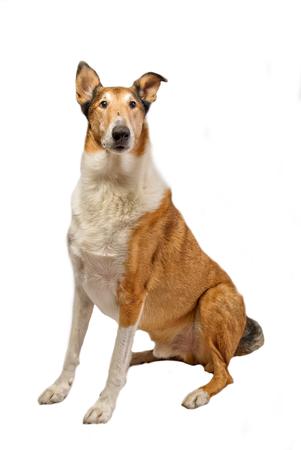 Pure breed golden smooth (short haired) Collie isolated on white