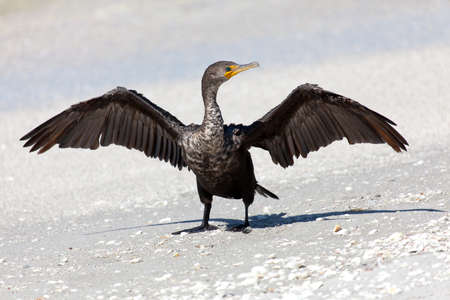 Cormorant(Phalacrocorax carbo) perching on the beach and open wings