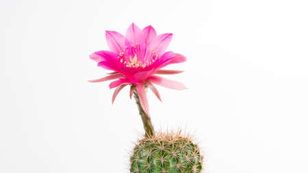 Photo pour Cactus Echinopsis Kermesina with open pink blossom, isolated - image libre de droit