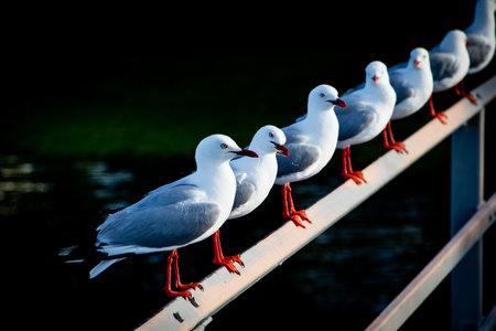 Photo pour Close up of quirky seagulls on a rail near a quiet New Zealand estuary. - image libre de droit
