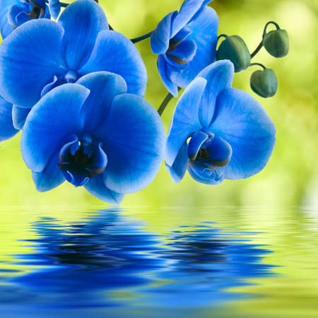 Blue Orchid Reflection