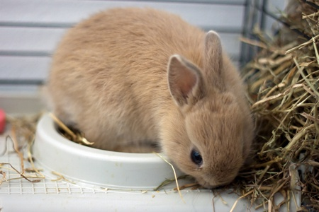 Dwarf rabbit in a cage eating hay