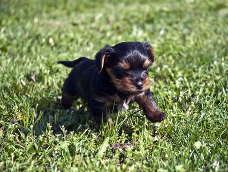 Yorkshire puppies for a month, playing on the lawn
