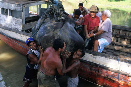 Loading buffalo boat.MARAJO ISLAND (Amazon). BRAZIL