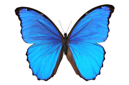 Butterfly (Morpho menelaus) in blue tones isolated against a blue background