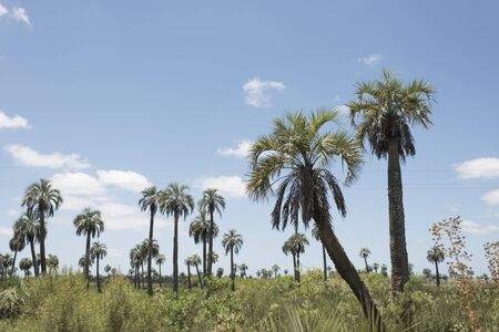 Field of butia palm trees, butia capitata, on the sides of the Camino del Indio, a rural tourist route in the Department of Rocha, Uruguay
