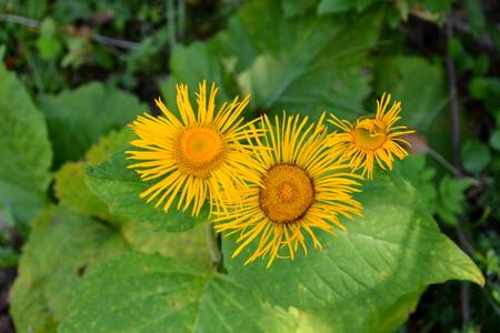 Wild flower in nature, Apuseni Mountain.