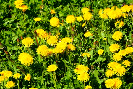 Dandelion. Nice flowers in the garden in midsummer, in a sunny day. Green landscape.