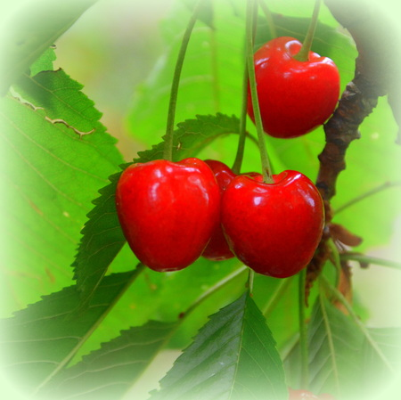 Cherries in a cherry tree. Green leave in the garden, in springtime. Green landscape and water drops