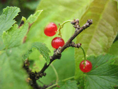There are bush of red currant and berries