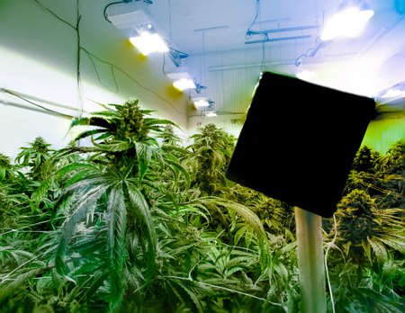 Cannabis Growing in Large Indoor Recreational Marijuana Operation Sign For Titling Copy Space Hanging in Foreground
