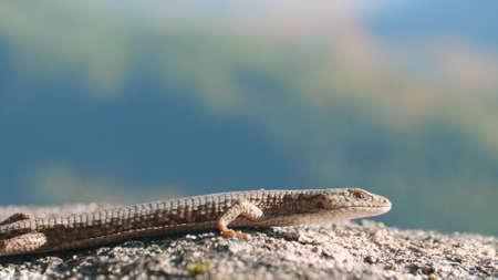 Northern Alligator Lizard in Natural Habitat