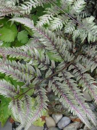 Vari colored ferns  in shade garden in Seattle