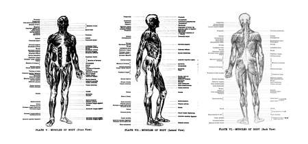 3 Views of the human muscles, full frontal , lateral and rear,  from out of print book, Human anatomy for art students by Sir Alfred Downing Fripp, Ralph Thompson, Harry Dixon - 1911
