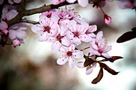 Foto de Beautifull cherry tree blossom in the spring - Imagen libre de derechos
