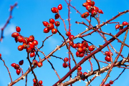 Rosehip berries on the twigs in winter with a blue sky. Italy