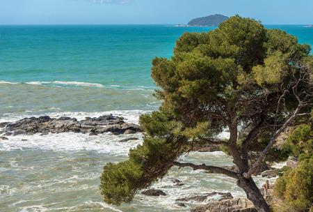 Photo for Maritime pine on the coast of Liguria, Italy. - Royalty Free Image