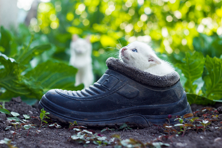 Mother cat behind small white kitten sitting in old boot