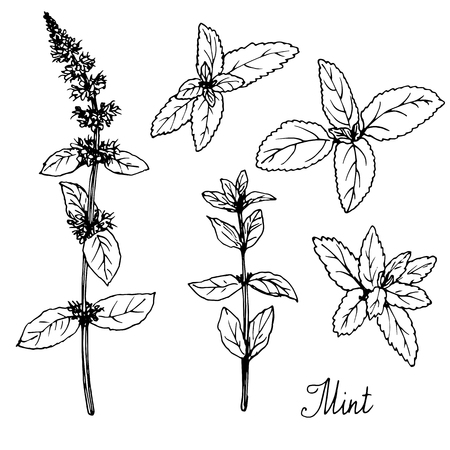 hand drawn mint plants, sketch  vector illustrationのイラスト素材
