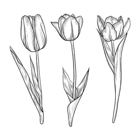 Illustration pour vector drawing flowers of tulips, vintage floral elements, hand drawn illustration - image libre de droit