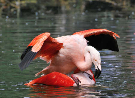 mating flamingos