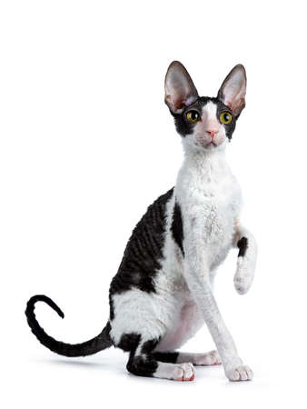 Photo pour Amazing black bicolor Cornish Rex cat sitting in front of a kitten, sitting next to her eyes, looking curiously at camera, isolated on white background - image libre de droit