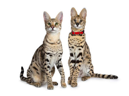 Photo pour Cool young adult Savannah cat and serval kitten, sitting half side ways facing front. Looking beside camera with green eyes. Isolated on white background. - image libre de droit
