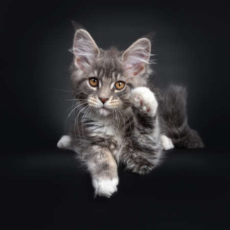 Cute blue tabby Maine Coon cat kitten, laying down front view. Looking at lens with radiant brown eyes. Isolated on black background. One paw in air saying hi.