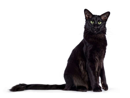 Photo pour Pretty young adult solid black Oriental Longhair cat, laying down side ways. Looking at camera with mesmerizing green eyes. Tail stretched behind body. One paw lifted. - image libre de droit