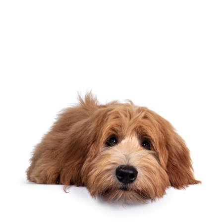 Photo pour Adorable red / abricot Labradoodle dog puppy, layingflat face down facing front, looking towards camera with shiny dark eyes. Isolated on white background. Mouth closed, head on floor. - image libre de droit
