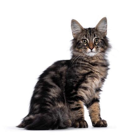 Photo pour Cute young black tabby blotched Norwegian Forestcat kitten, sitting side ways. Looking with green / brown eyes towards camera. Isolated on white background. - image libre de droit