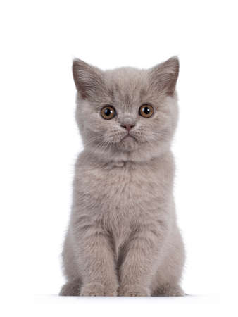 Photo pour Cute lilac British Shorthair cat kitten, sitting facing front. Looking towards camera with round brown eyes. isolated on white background. - image libre de droit