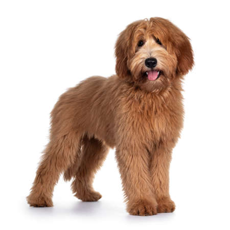 Photo for Cute red / abricot Australian Cobberdog / Labradoodle dog pup, standing side ways. Looking at camera, mouth open and tongue out. Isolated on white background. - Royalty Free Image