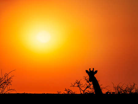 Photo pour Orange sunset in South Africa landscape with silhouette of giraffe looking towards camera and some branches - image libre de droit