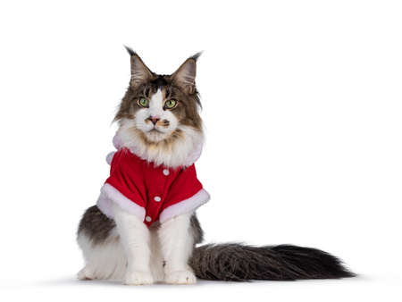 Photo pour Cute Maine Coon cat, sitting up facing front, wearing red santa jacket. Isolated on white background. - image libre de droit