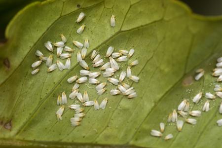 Foto de White fly infestation on the underside of a citrus leaf - Imagen libre de derechos