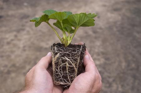 Foto für A rooted strawberry plug plant, ready for planting - Lizenzfreies Bild