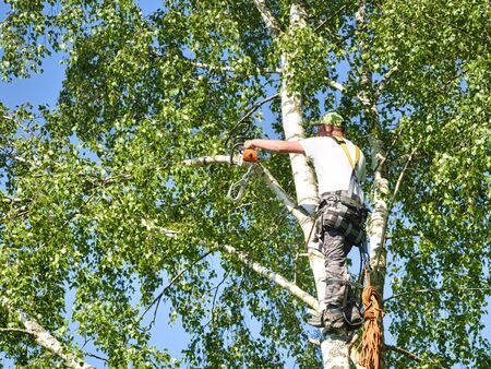 Foto de Close-up mature professional male tree trimmer high in top birch tree cutting branches with gas powered chainsaw and attached with headgear for safe job. Expert to do dangerous work. - Imagen libre de derechos