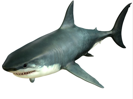 Great White Shark Upper - The Great White Shark is an apex-predator which can grow over 26 feet or 8 meters and live for 70 years or more