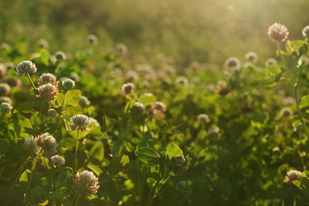 sunset field shallow DOF background - sunny meadow with clover flowers