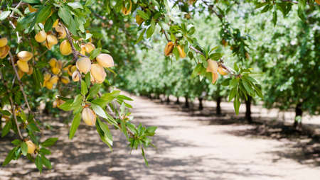 Healthy raw nuts still growing in the farmer's orchard