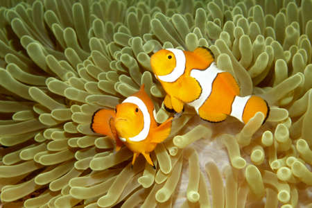 Two Clown Anemonefish Amphiprion percula swimming in their sea anemone.