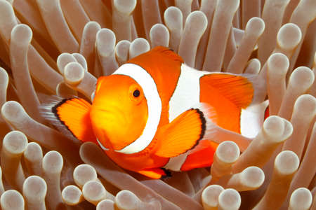 Photo pour Clown Anemonefish, Amphiprion percula, swimming among the tentacles of its anemone home. Tulamben, Bali, Indonesia - image libre de droit